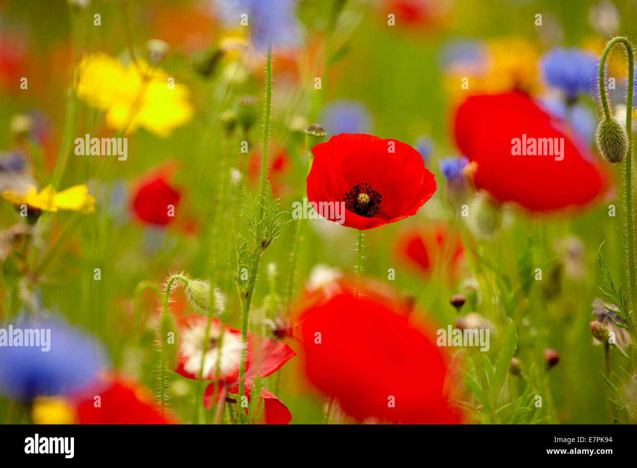 Poppies, cornflowers and other wild flowers. Stock Photo