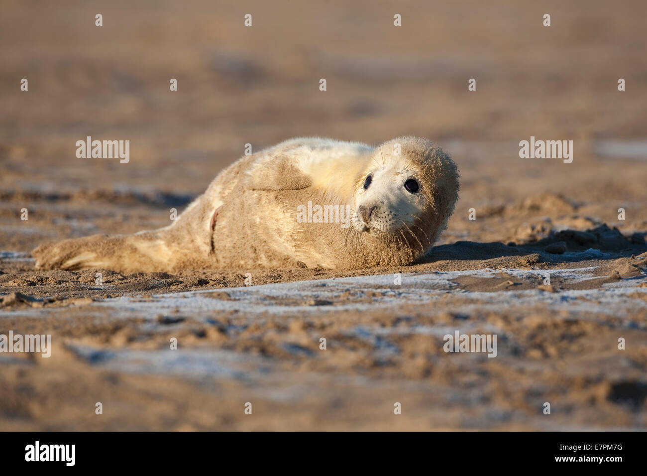 Grey Gray Seal Pup  Halichoerus grypus   lying on sand at low tide at Donna Nook, Lincolnshire, England Stock Photo