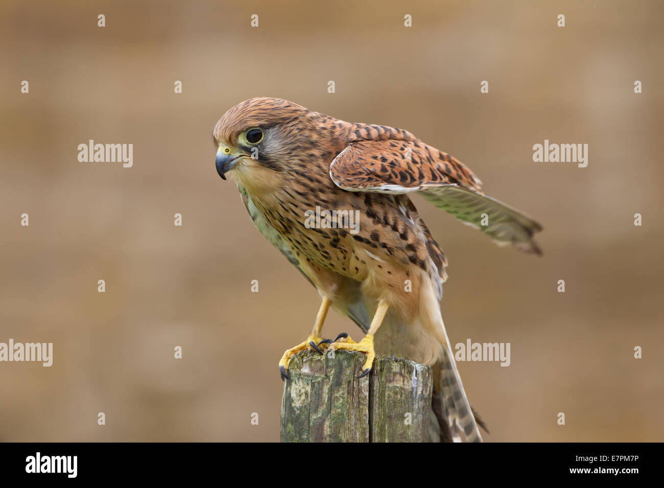 Kestrel female Falco Tinnunculus perched on a wooden stake and taken under controlled conditions - Stock Image