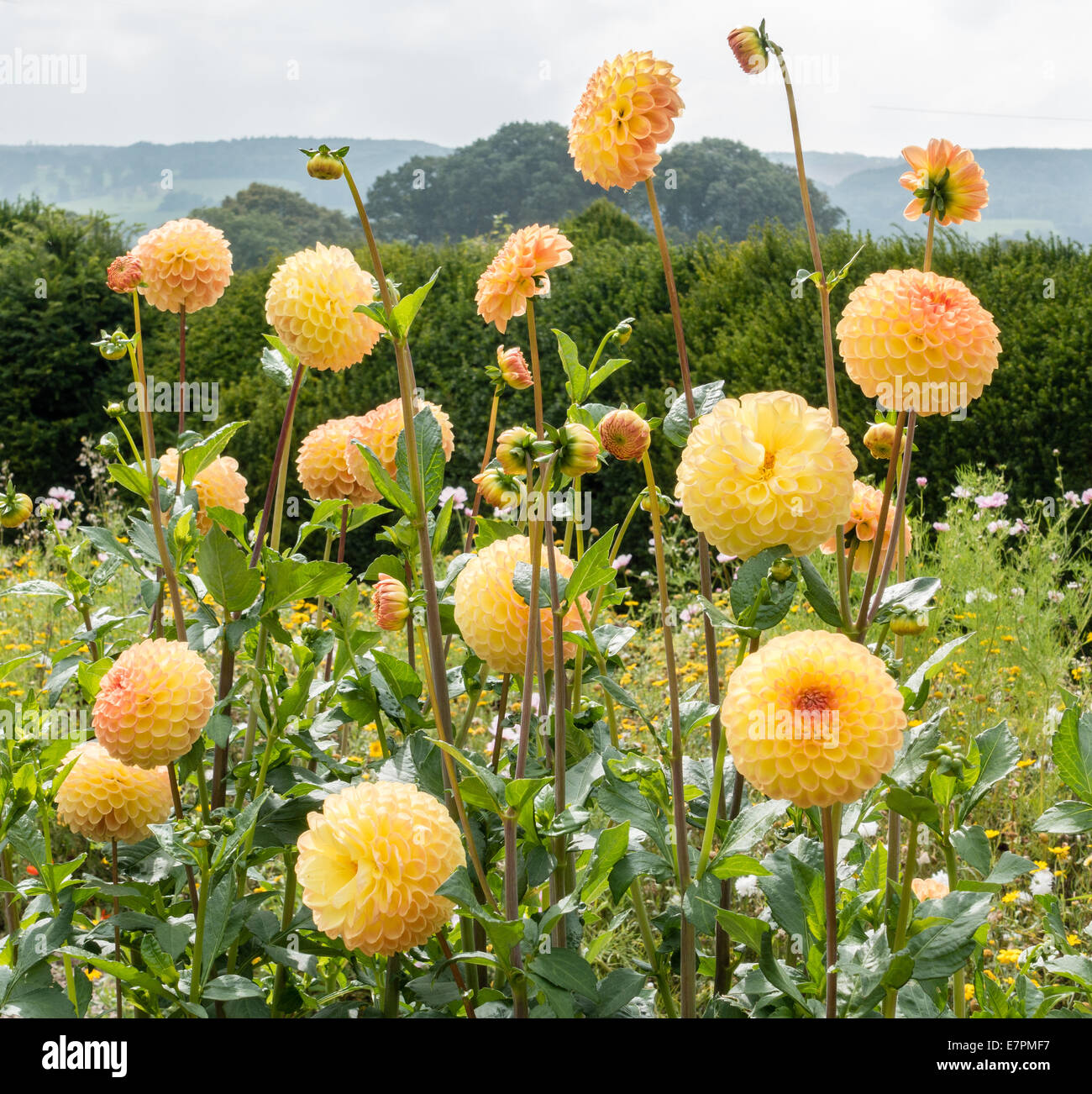 Pom pom flowers stock photos pom pom flowers stock images alamy golden yellow pom pom dahlias in an english garden stock image mightylinksfo