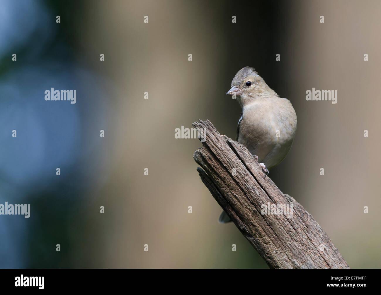 Female Common chaffinch (Fringilla coelebs) - Stock Image