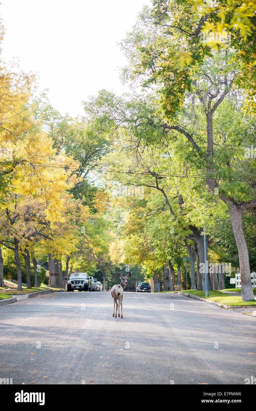 Deer graze in a residential neighborhood of Helena, Mont. - Stock Image