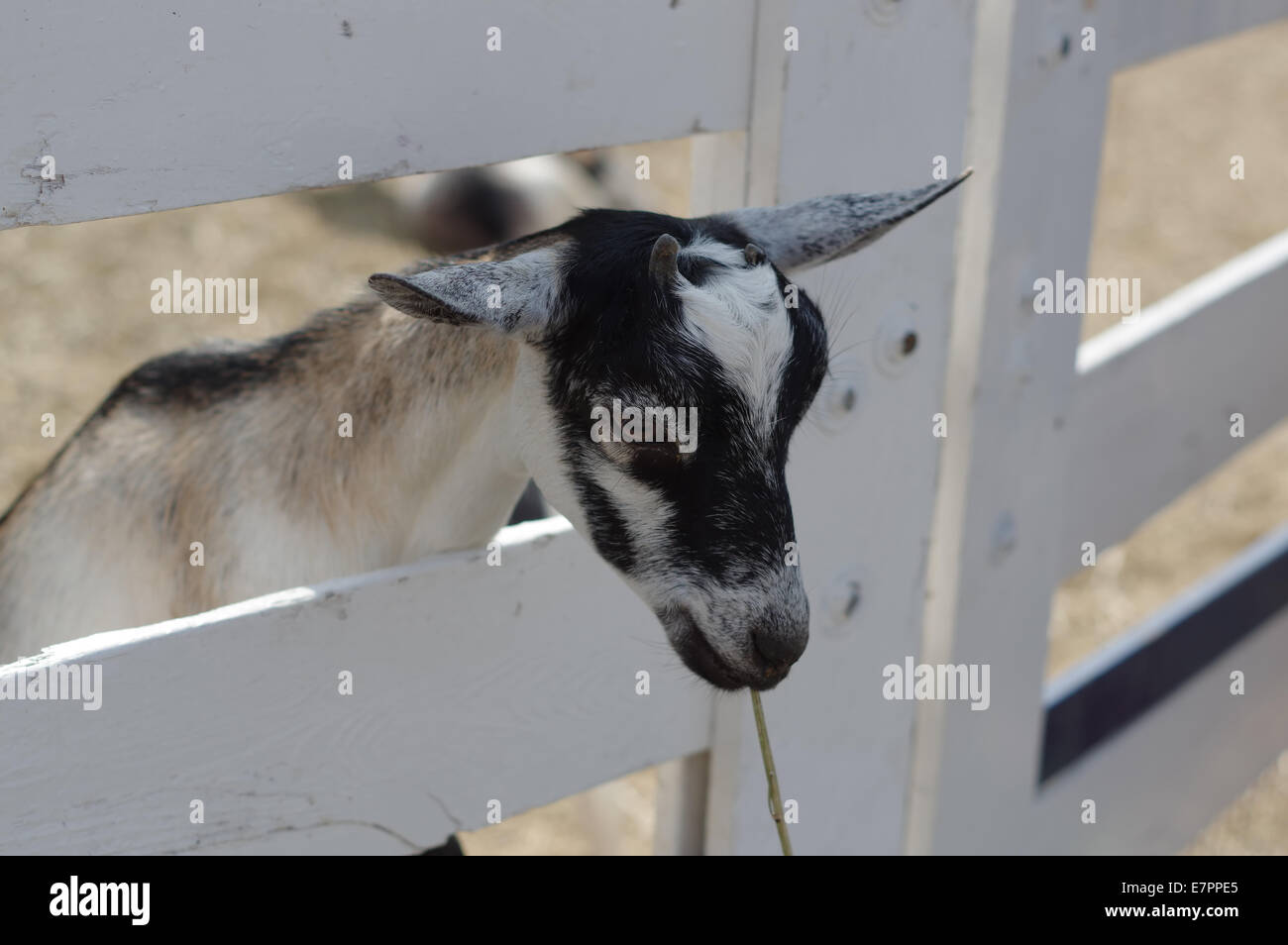 Mini  /  pygmy goats - Stock Image