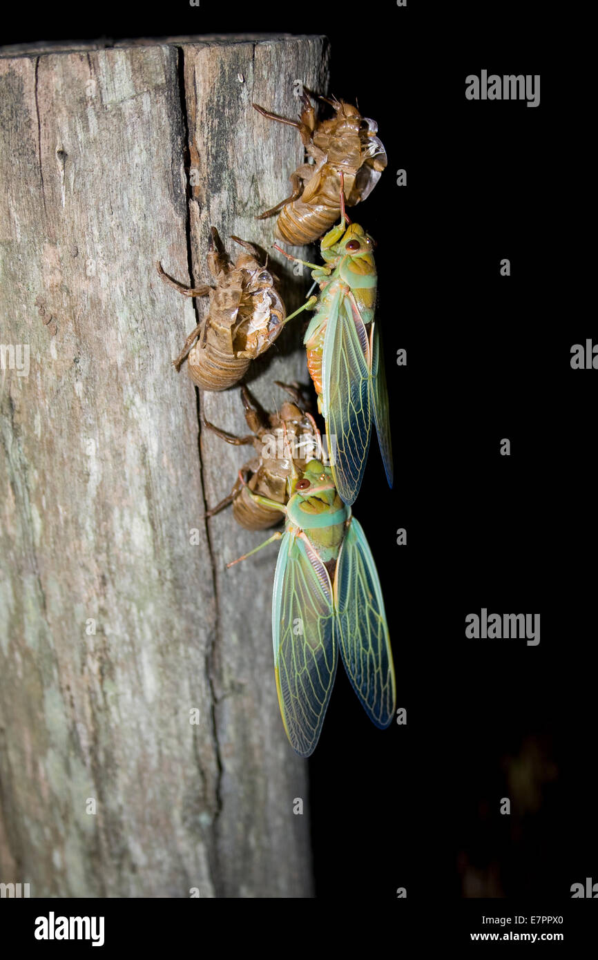 Freshly emerged adult Cicadas from they're pupal cases - Stock Image