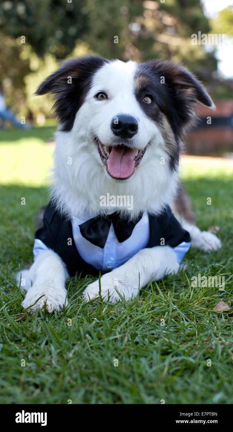 Border Collie wearing a tuxedo - Stock Image