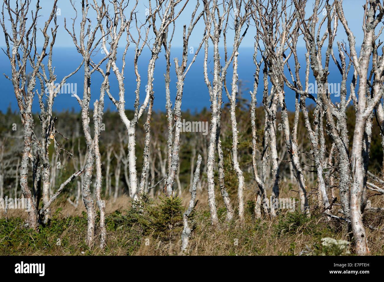 bare trees, Skyline Trail, Cape Breton Highlands National Park, Nova Scotia, Canada - Stock Image