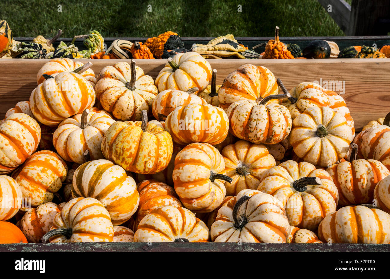 Colorful box of mini Pumpkin hooligan squash for sale on a farm in New Jersey, USA - Stock Image