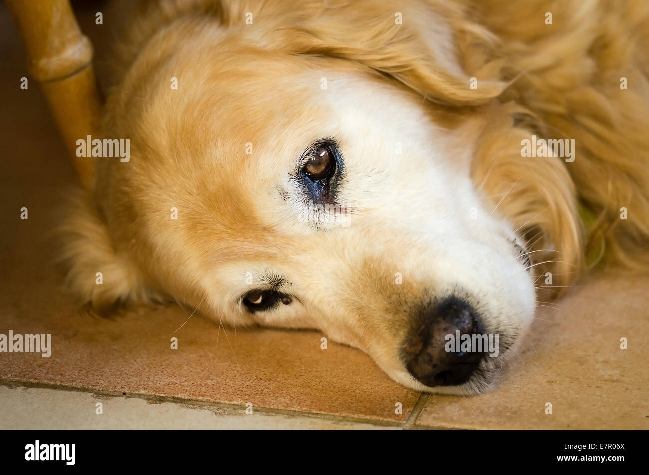 A tired dog resting on a tiled floor indoors - DO NOT DISTURB - Stock Image