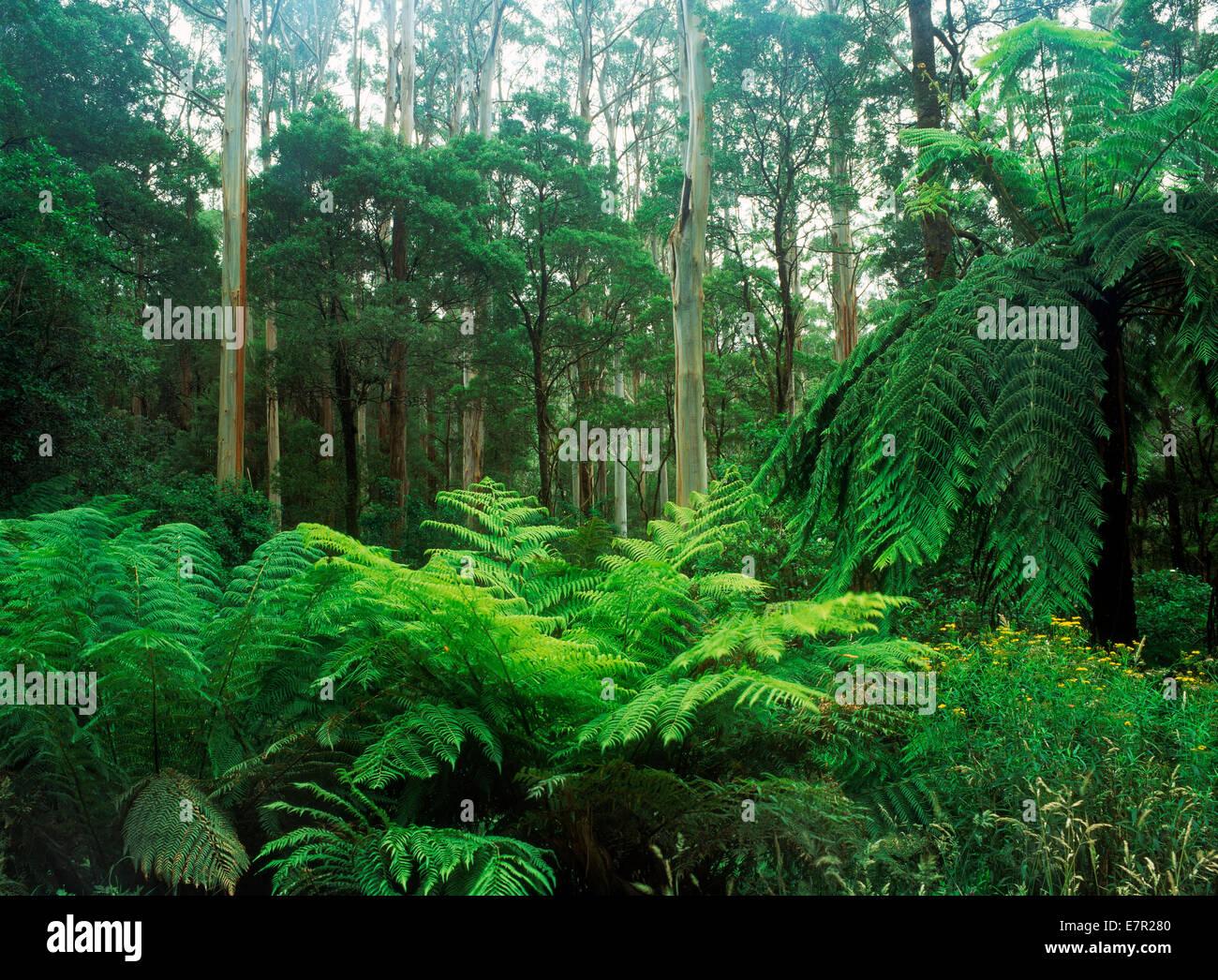 Swamp Gum (Eucalyptus regnans) in Tasmania, Australia Stock Photo