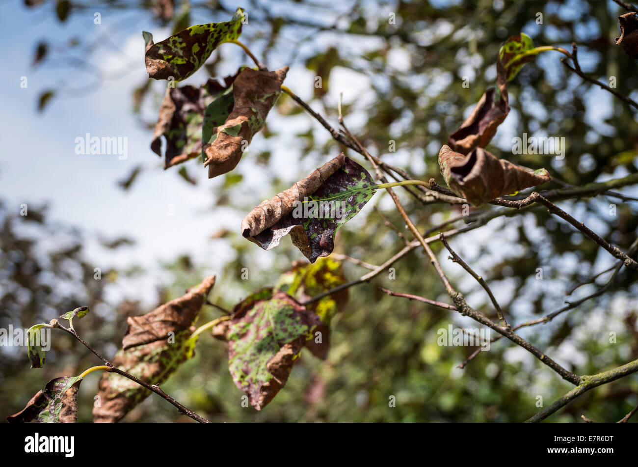Cydonia oblonga tree with foliage suffering from a form of blight in UK - Stock Image