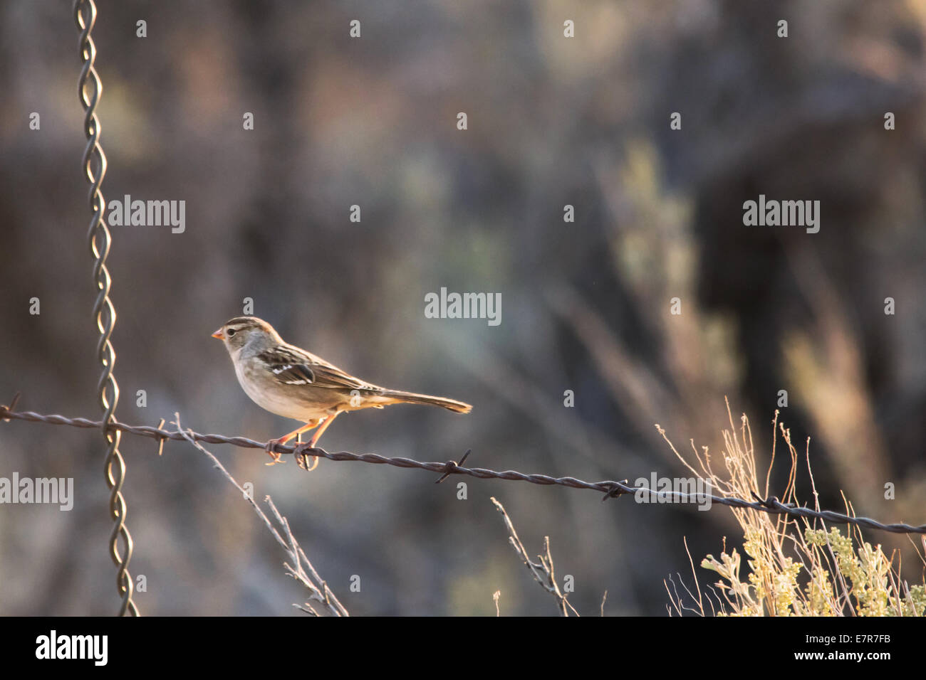 House sparrow on a barbed wire fence. - Stock Image