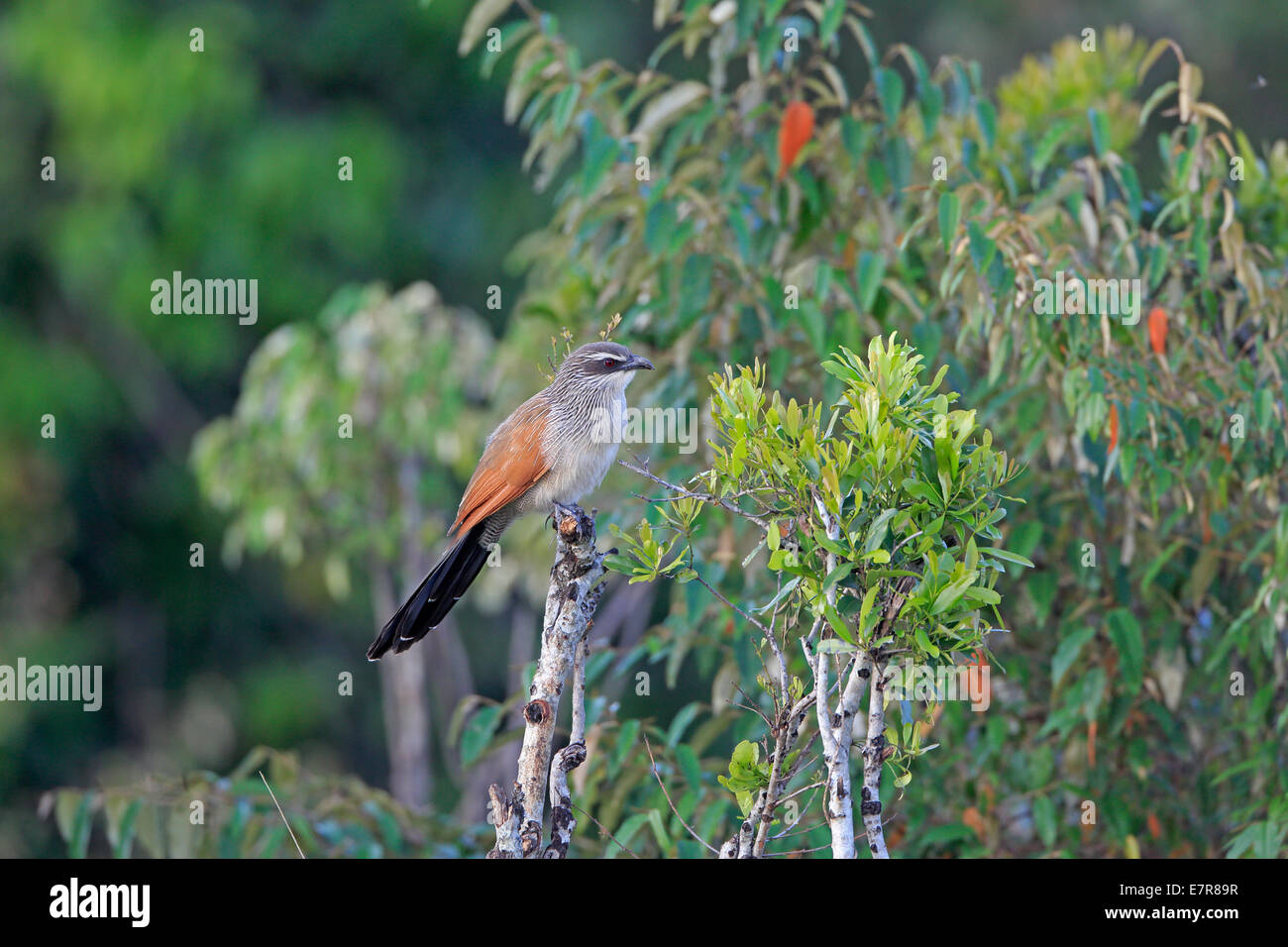 White-browed Coucal perched on the Masai Mara - Stock Image