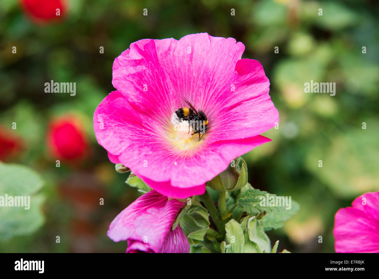 Bee collecting pollen in a poppy. - Stock Image