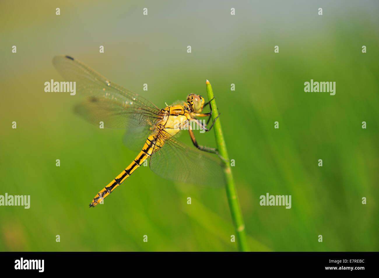 Vagrant darter,Sympetrum vulgatum, Libellulidae, Rascino Plateau, Rieti, Lazio, Italy, Europe Stock Photo
