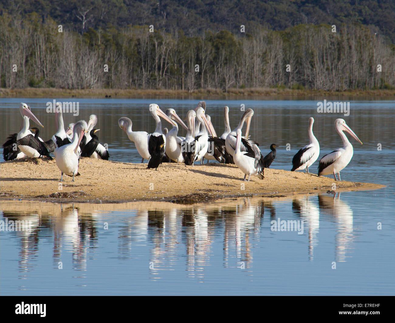 Pelicans on a sandbar - Stock Image