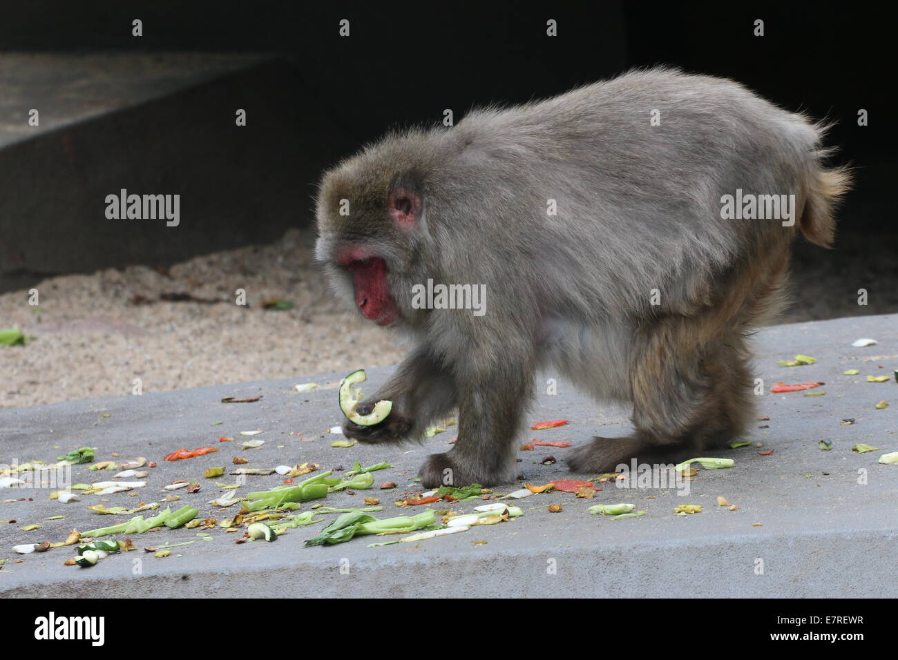 Japanese macaque or Snow monkey (Macaca fuscata) eating fruit and
