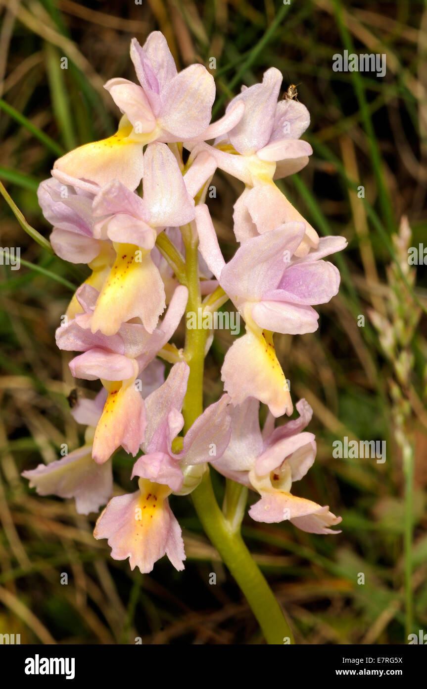 Wild orchid Orchis pauciflora, Orchideaceae, Abruzzo National Park, Italy, Europe - Stock Image