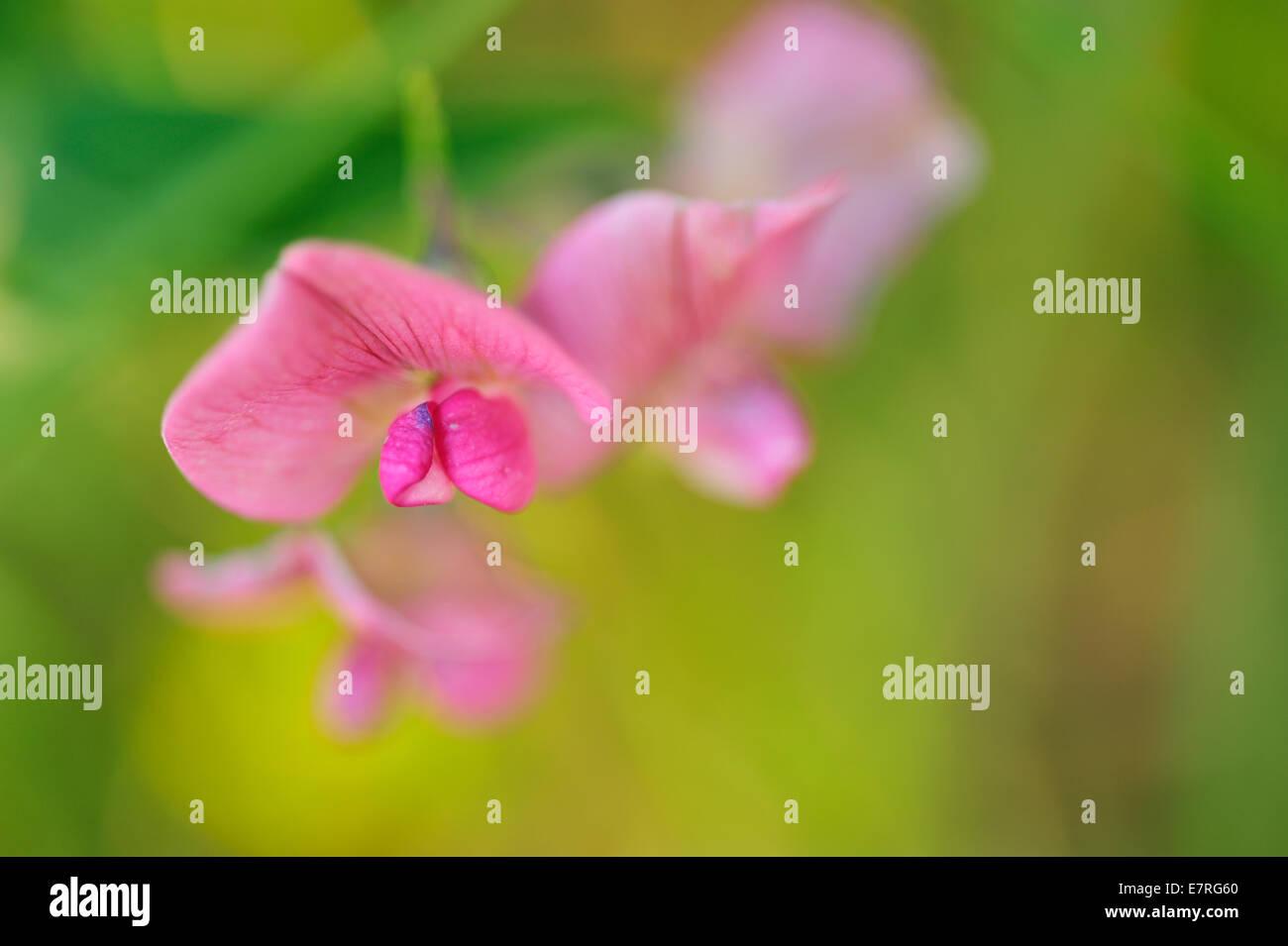 Common Garden Pea Pisum sativum, Fabaceae, Castelluccio di Norcia, Umbria, Italy, Europe - Stock Image