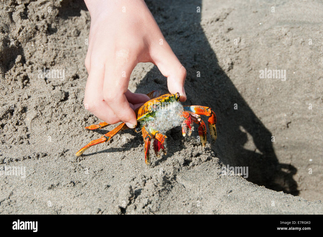 Angry Grapsidae Crab Frothing at the Mouth - Stock Image
