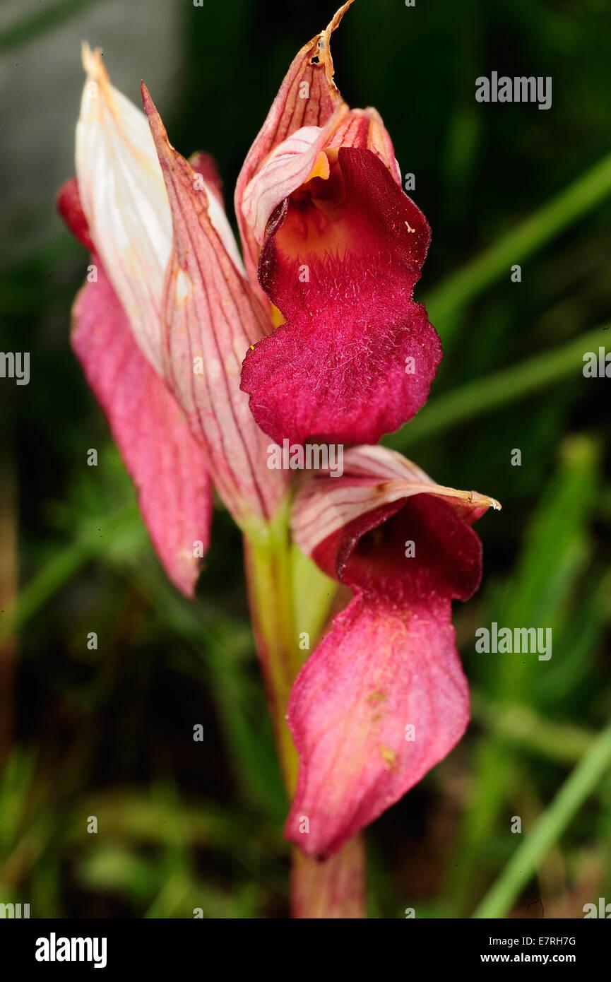 Wild orchis Serapias lingua, Orchidaceae, Gargano National Park, Puglia, Italy, Europe - Stock Image