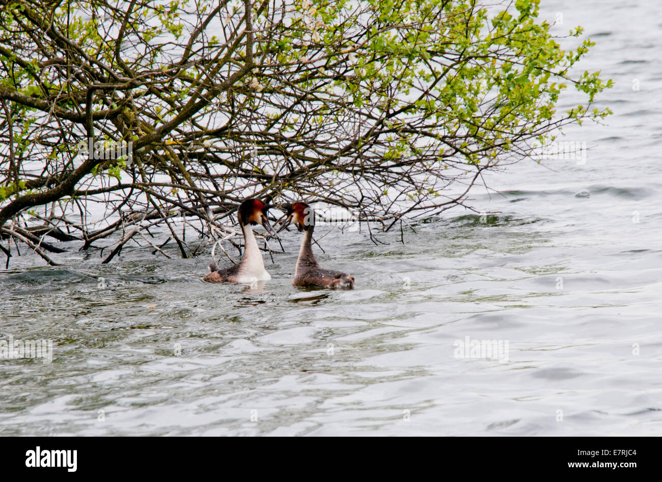 Pair of Great Crested Grebes displaying at Cheshunt, Herts - Stock Image