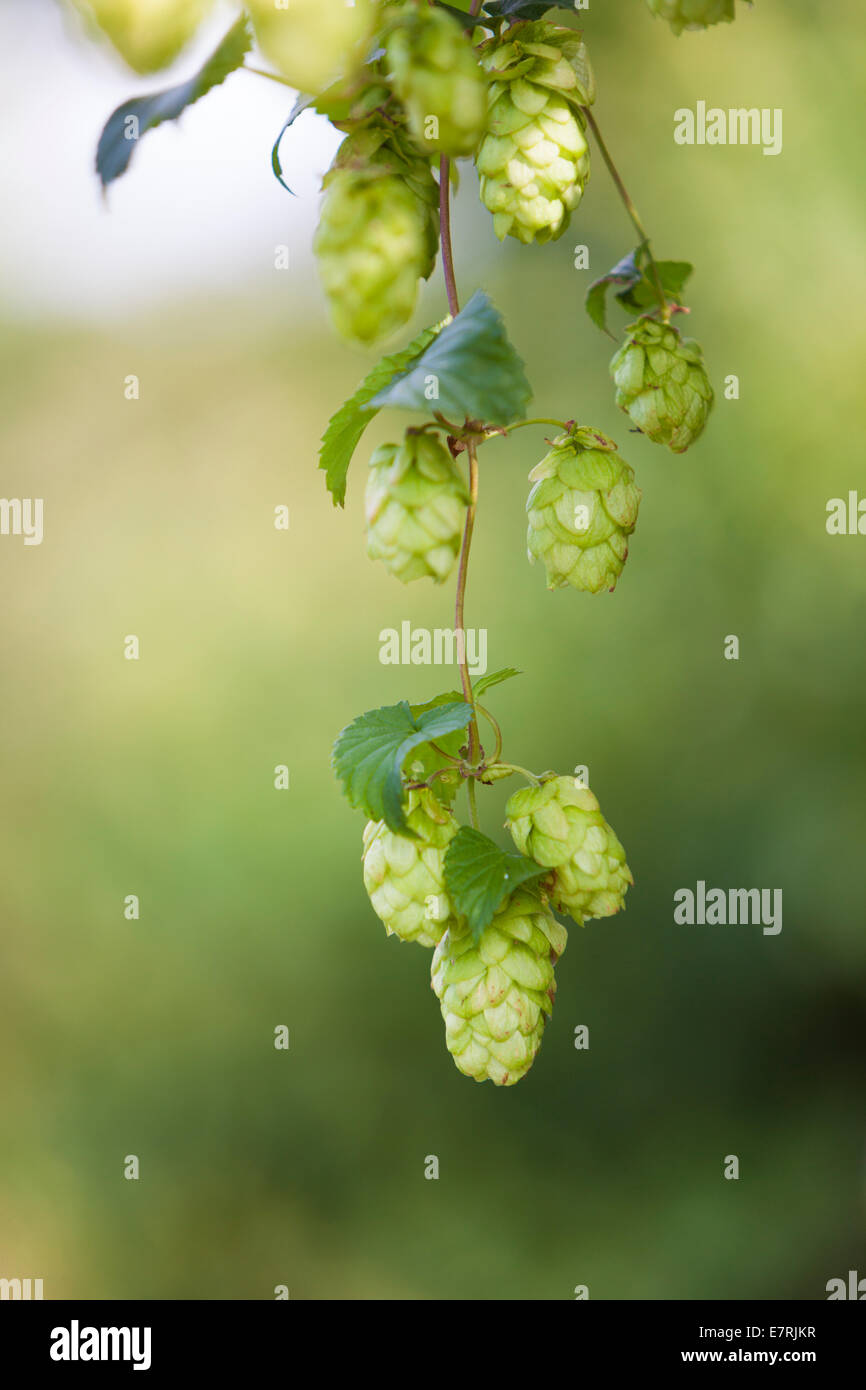 Hops (Humulus lupulus) flower, Kent, UK, summer. Today different varieties of hops are an essential ingredient of - Stock Image