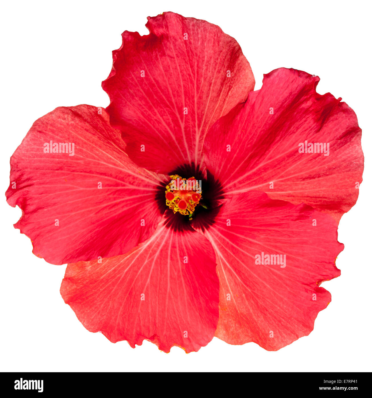 Hot pink tropical hibiscus flower stock photos hot pink tropical hot pink tropical hibiscus flower isolated on a pure white background stock image izmirmasajfo