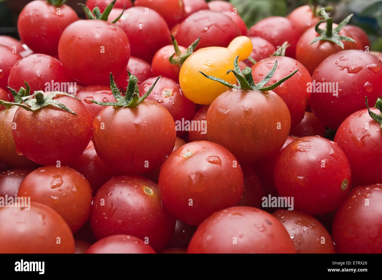 Fresh organic Cherry tomatoes at the market / Organic Cherry tomatoes freshly picked from the garden - Stock Image