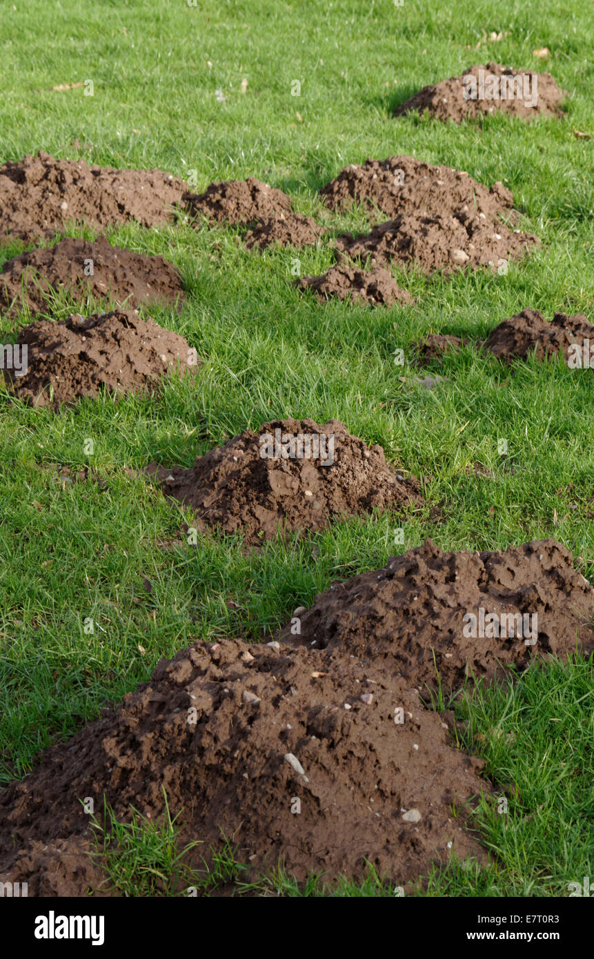 Molehills crossing a pasture. - Stock Image
