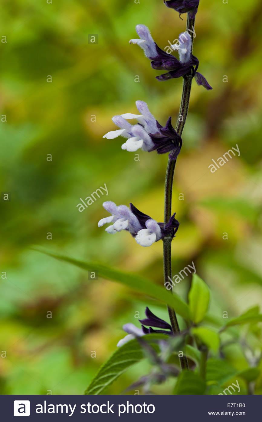 Friendship Sage Salvia Phyllis Fancy Summer Flower Purple Violet
