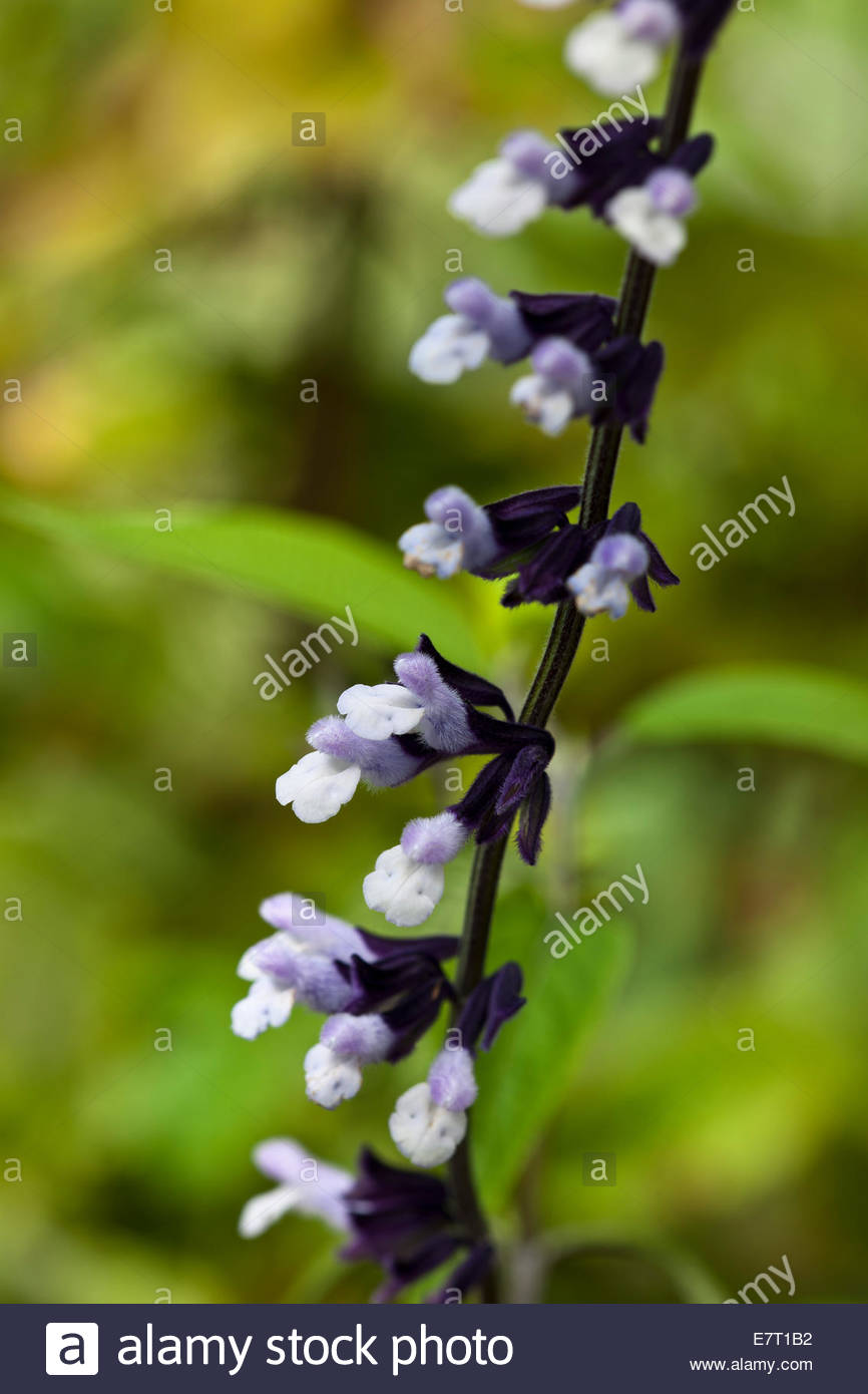 friendship sage Salvia Phyllis Fancy summer flower purple violet perennial white September garden plant blooms blossoms - Stock Image