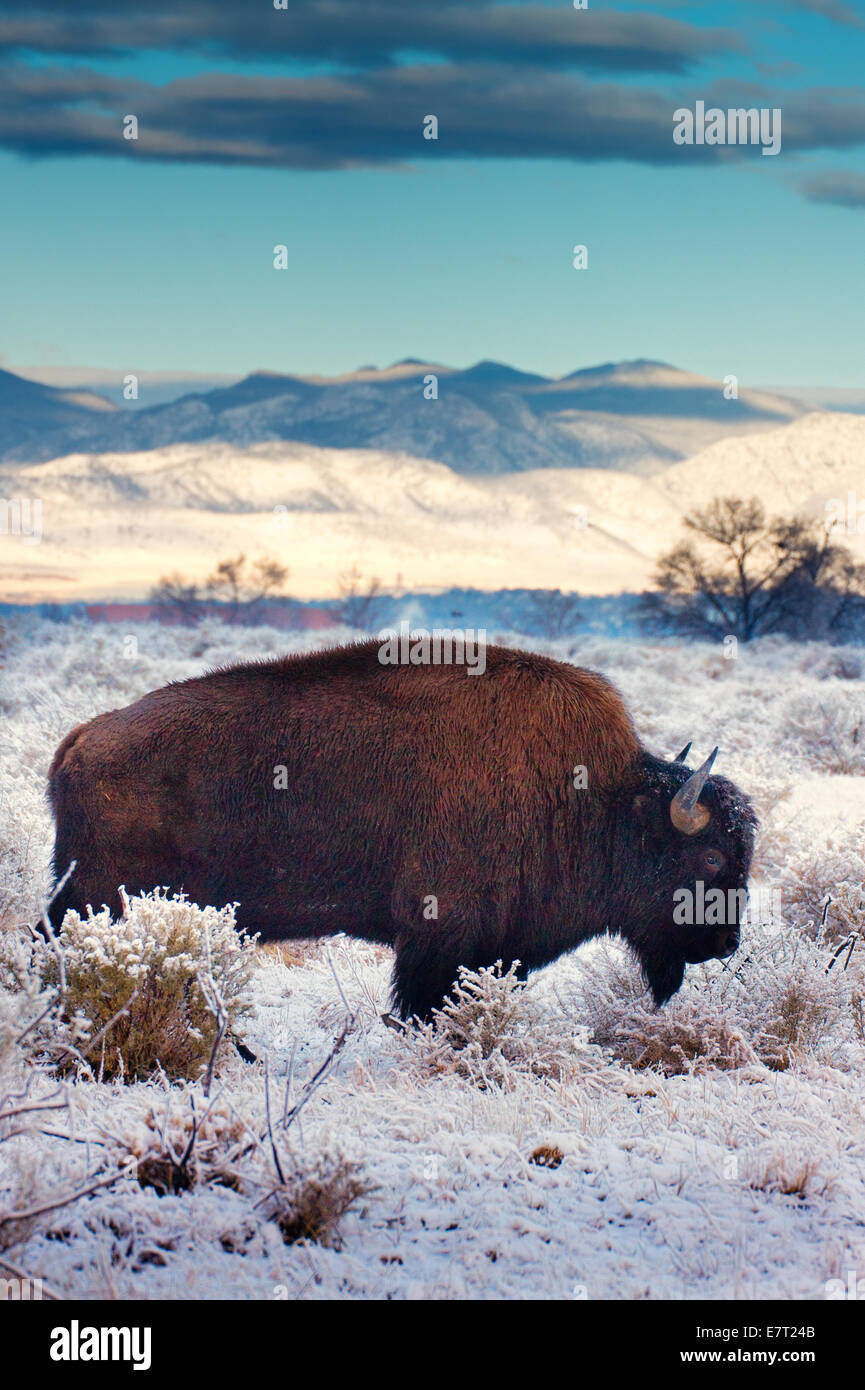 A Bison looks for food among the fresh snow  during winter in Denver, Colorado - Stock Image