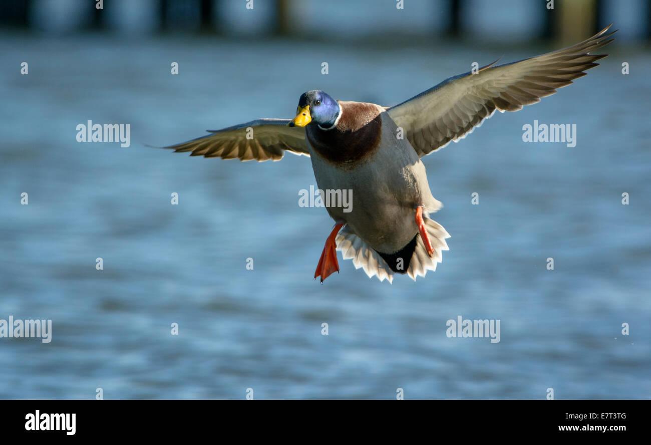 Mallard duck drake, Anas platyrhynchos, in flight near Cambridge Maryland USA. - Stock Image