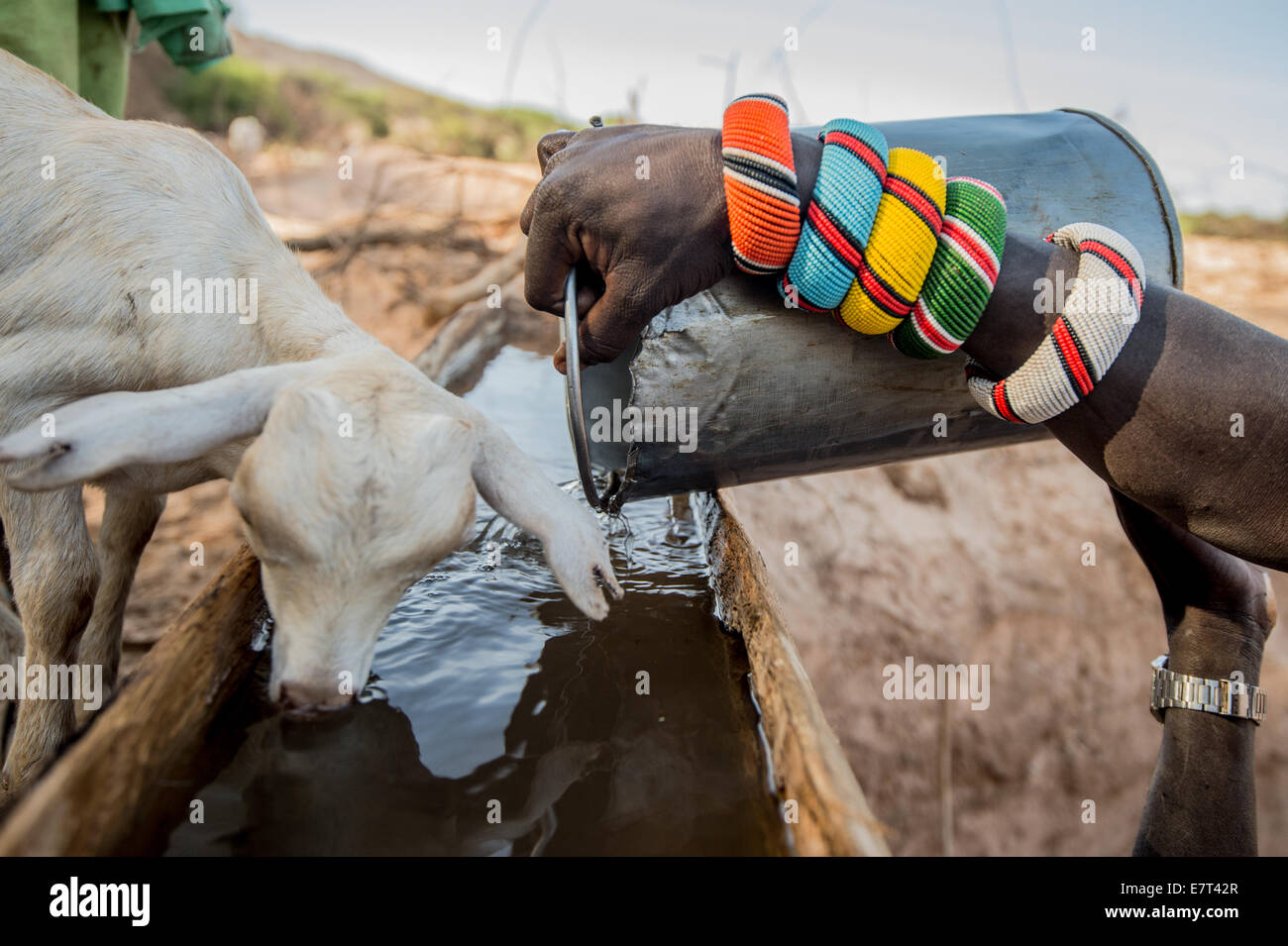 A Samburu herder tends his flock in Northern Kenya. Every morning during the dry season, the Samburu warriors bring - Stock Image