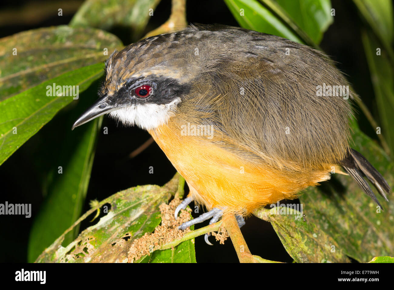 Unidentified bird roosting in the rainforest understory at night, Ecuador. Stock Photo