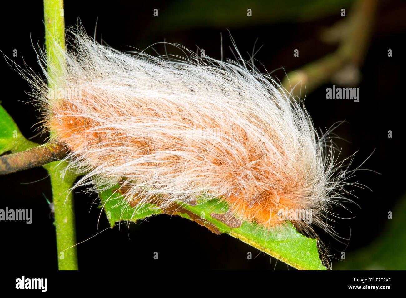 A very hairy caterpillar in the rainforest understory, Ecuador.