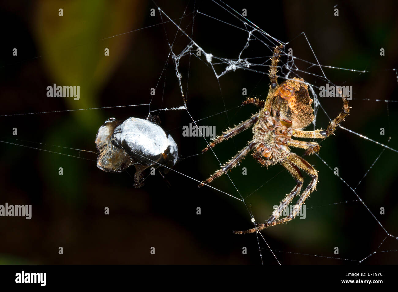 Large orb-web spider with a prey item in its web, Ecuador - Stock Image