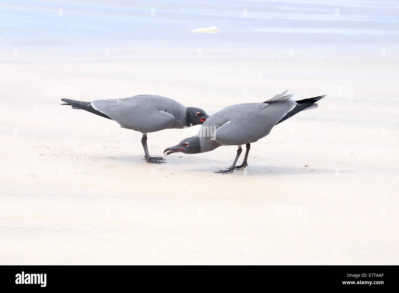Lava gulls (Leucophaeus fuliginosus), Isabela Island, Galapagos Islands, Ecuador - Stock Image