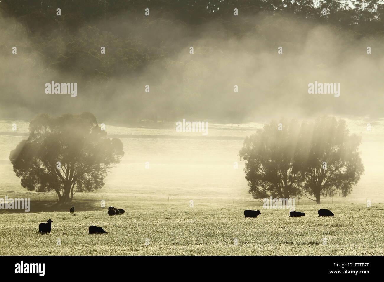 Merino sheep grazing among a foggy landscape in Western Australia. - Stock Image