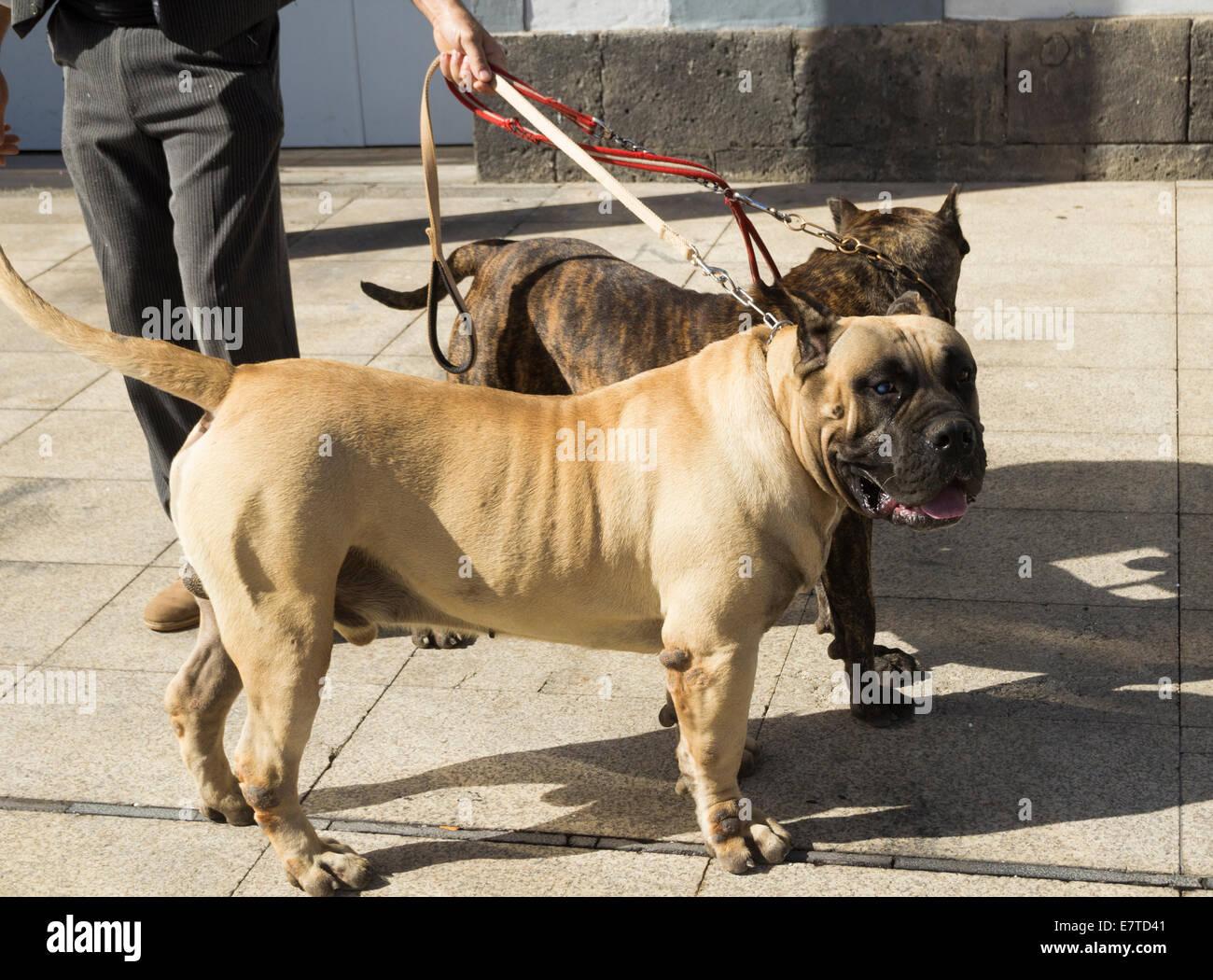 Big Dogs In Spanish