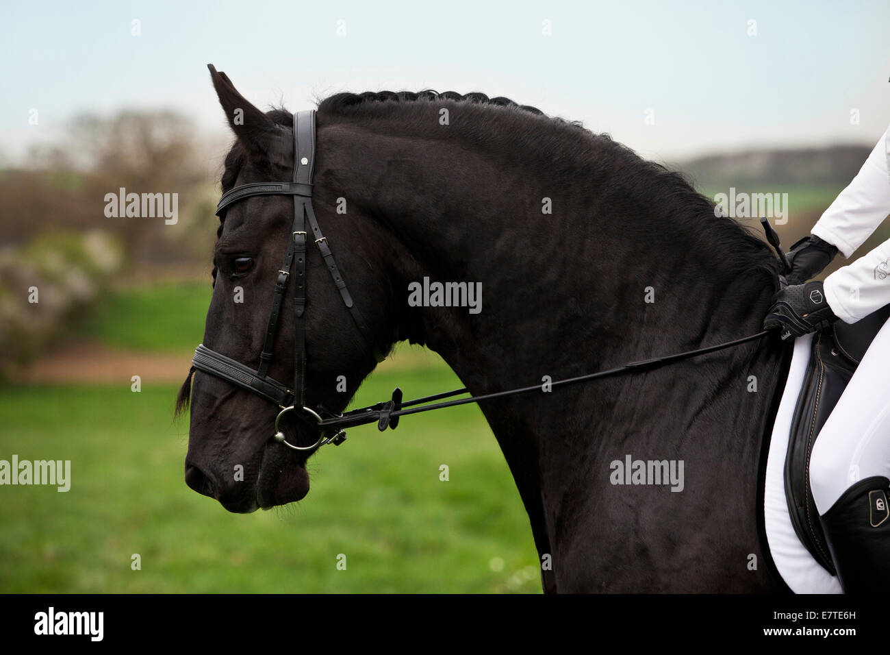 Friesian or Frisian horse, stallion, English bridle, head position in profile - Stock Image