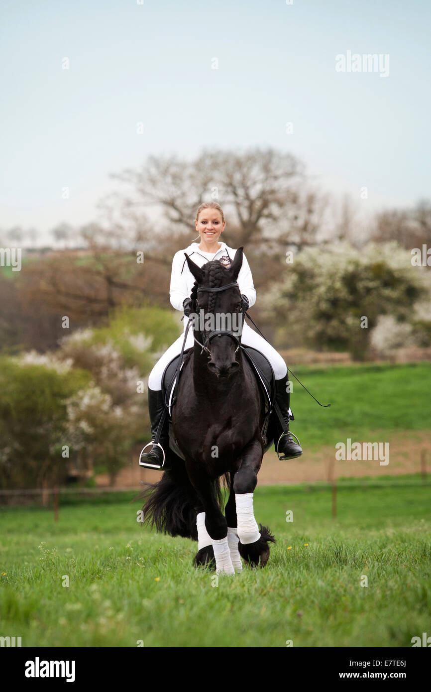 Friesian or Frisian horse, stallion, trotting with a female rider on horseback, on a meadow, classical dressage Stock Photo