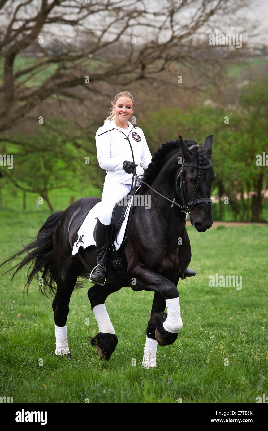 Friesian or Frisian horse, stallion, trotting with female rider on horseback, on a meadow, classical dressage - Stock Image