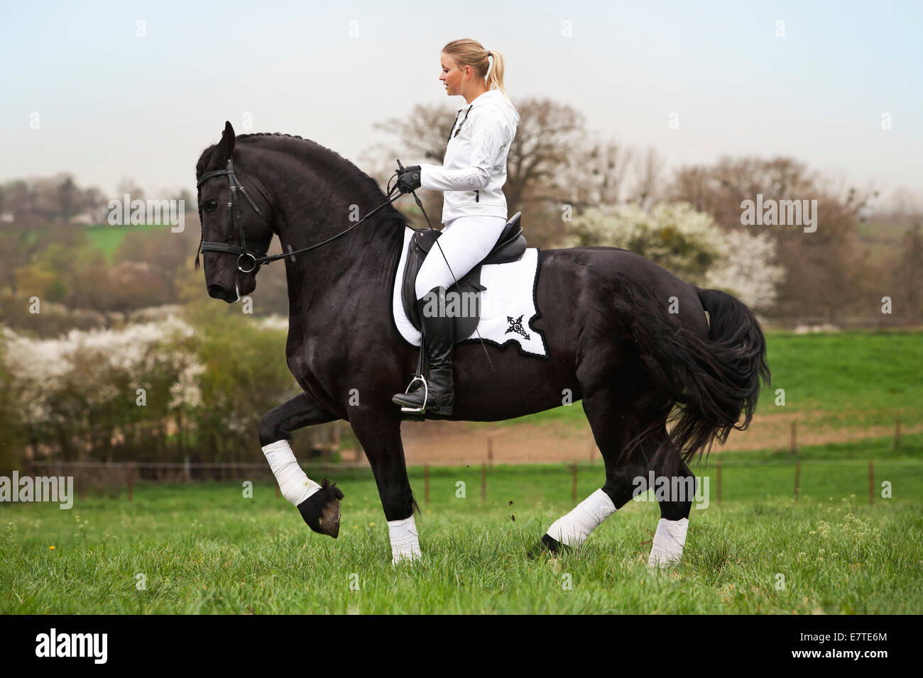 Friesian or Frisian horse, stallion with a female rider on horseback, on a meadow, classical dressage, piaffe on - Stock Image
