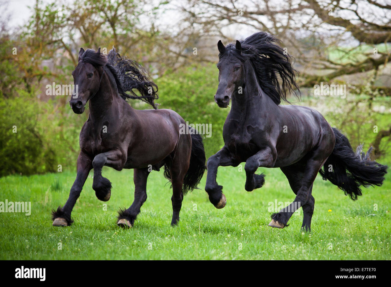 Friesian or Frisian horses, stallions, running free on a meadow, galloping - Stock Image
