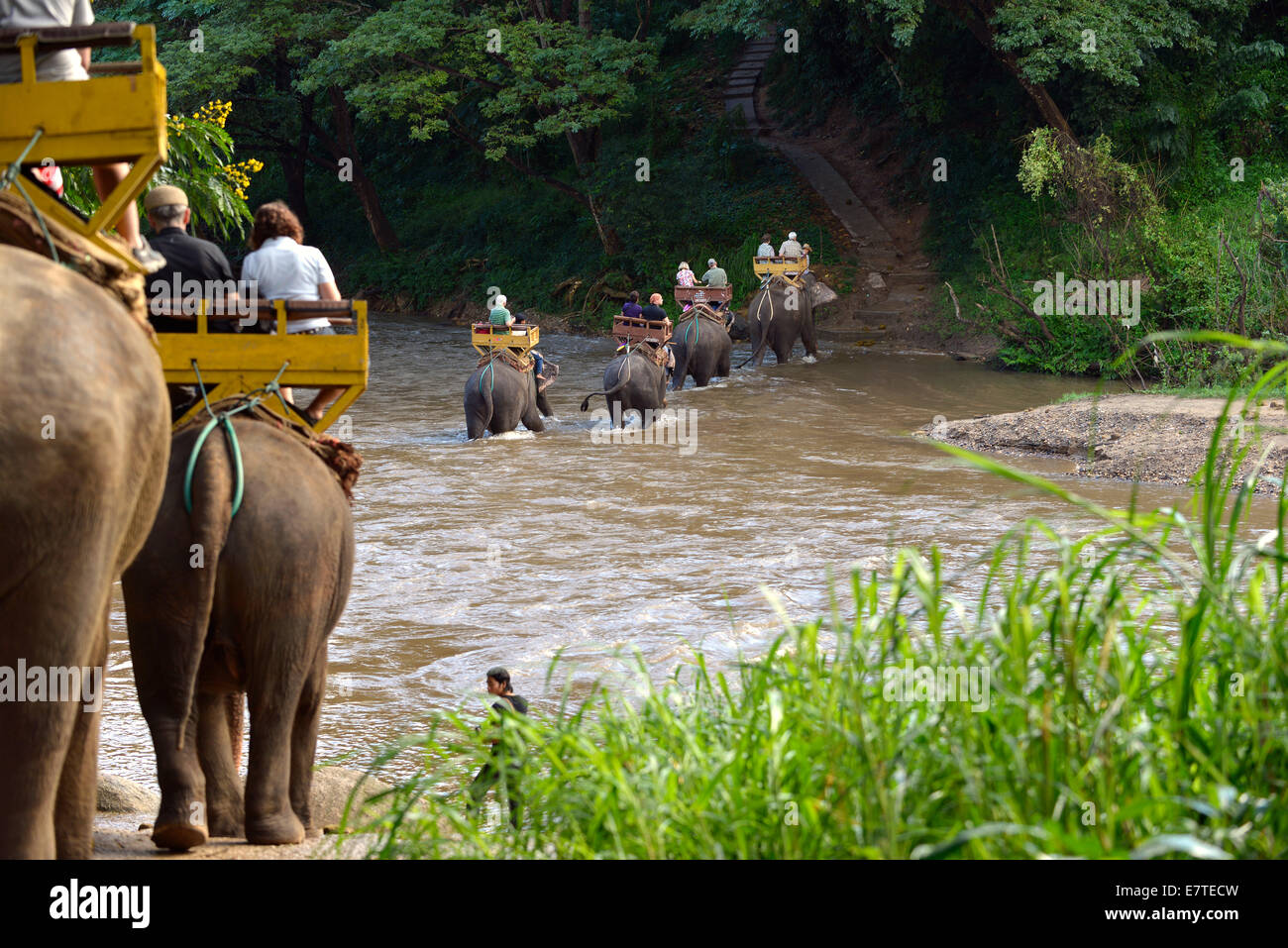 Elephant trekking with Asian or Asiatic Elephants (Elephas maximus) at Mae Tang River, Maetaman Elephant Camp - Stock Image