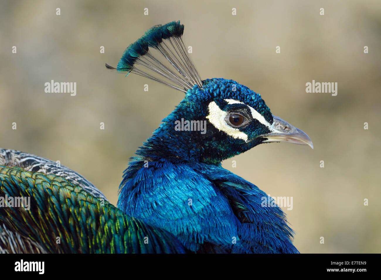 Indian Peafowl or Blue Peafowl (Pavo cristatus), male, Zoo, Zurich, Switzerland - Stock Image