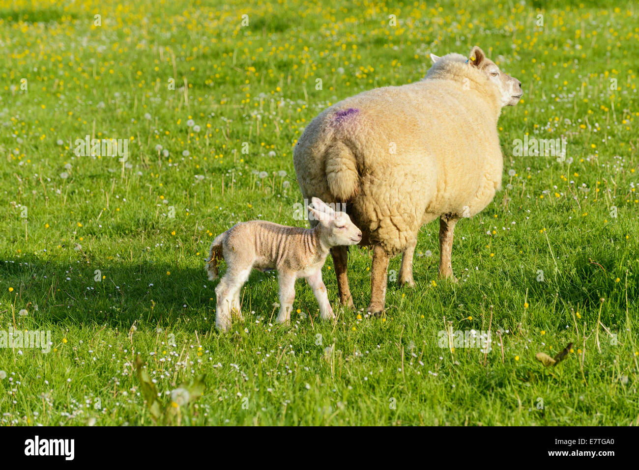 Ewe with new born lamb in field - Stock Image