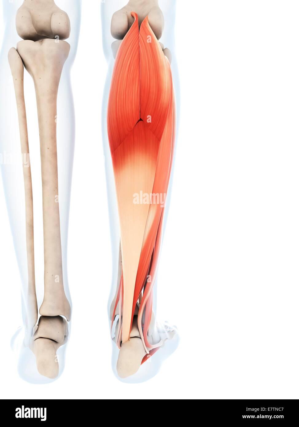 Human calf muscles, computer artwork Stock Photo: 73687719 - Alamy