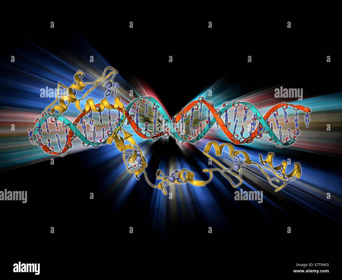 Transcription factor and ribosomal RNA (rRNA). Molecular model showing the 6 zinc fingers of transcription factor Stock Photo